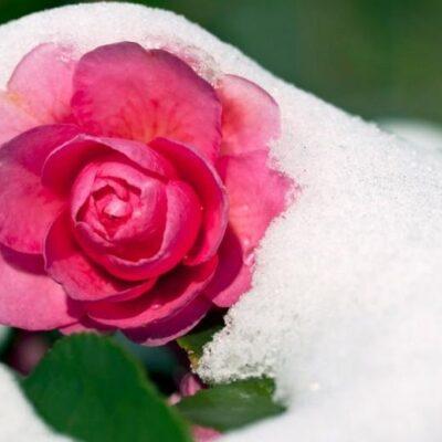 Kaip šilta žiema paveiks augalus