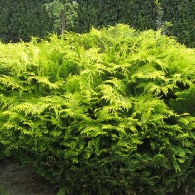 Spygliuočiai – 20 proc. augalų sklype