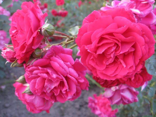Hamburger Phoenix Vijokline roze