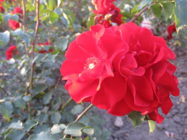 Roter Korsaar