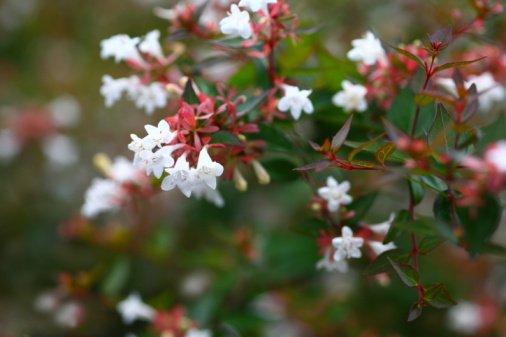 Kvapusis vytmenis, nuotrauka iš www.buzzle.com
