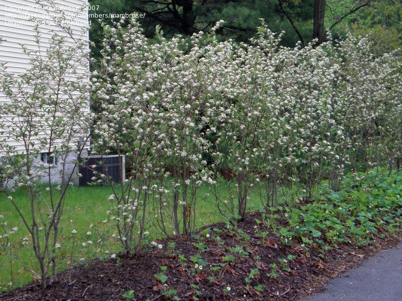 Neseniai pasodintų aronijų eilė, Aronia arbutifolia 'Brilliant', šaltinis http://davesgarden.com