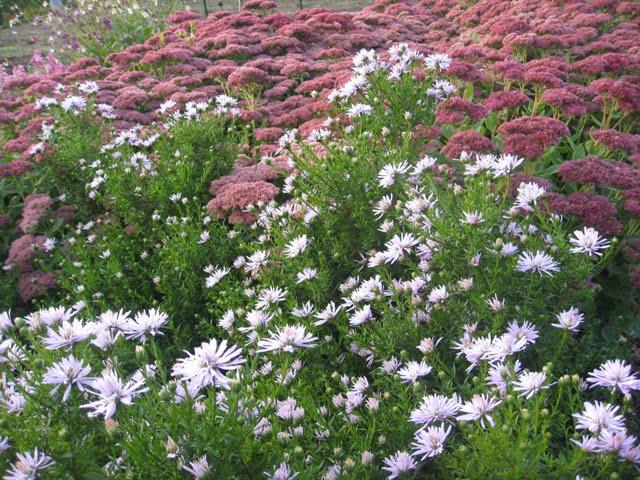 Daugiamečių gėlių derinys: astrai ir šilokai