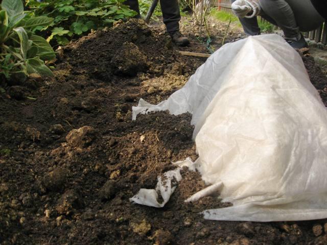 4 Roziu dengimas ziemai - kur apie nauja sodinuka