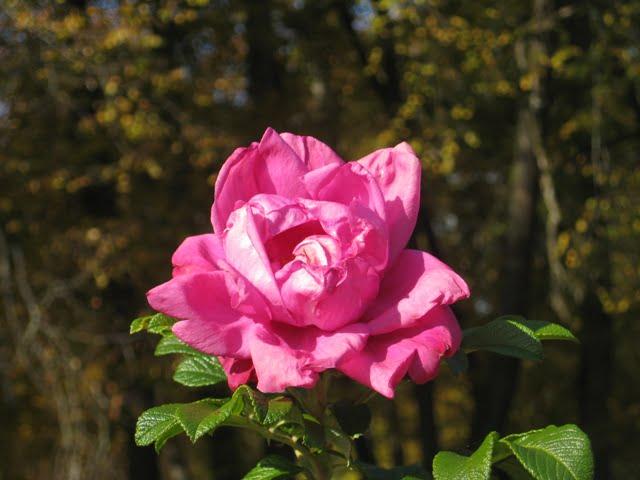 Rosa 'Moje Hammamberg'