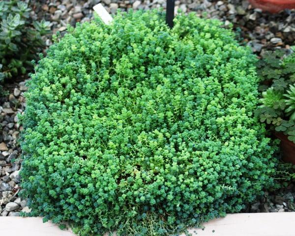 Sedum_dasyphyllum