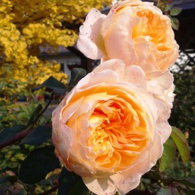 Rožių sodinimas ir dažniausios klaidos