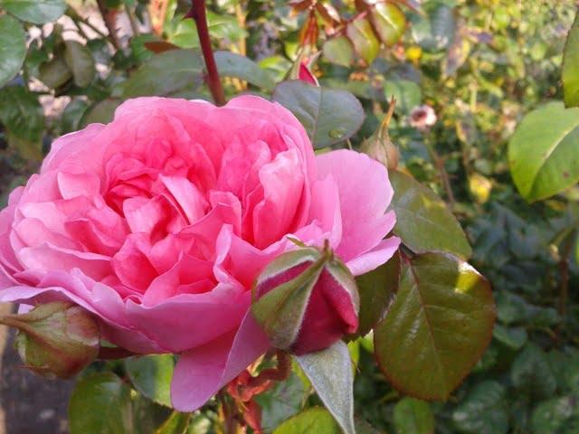 Rozes rodeni roziu sodinimo laikas