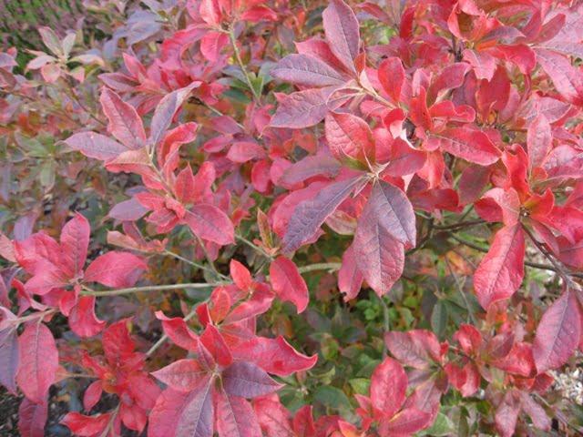 rododendrai rudeni 1