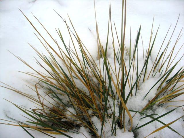 Dekoratyvinės žolės žiemą