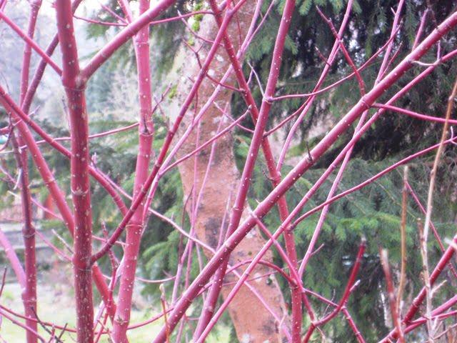 Raudoni sedulos (Cornus Mas 'Sibirica') ūgliai žiemą