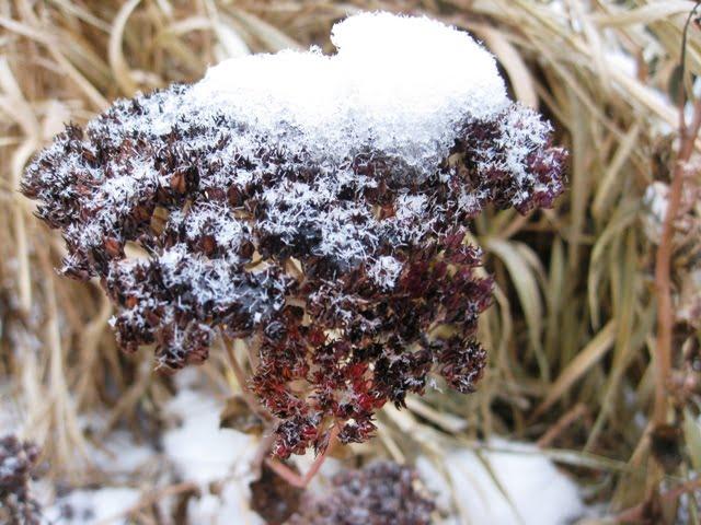 Šilokų žiedynai žiemą