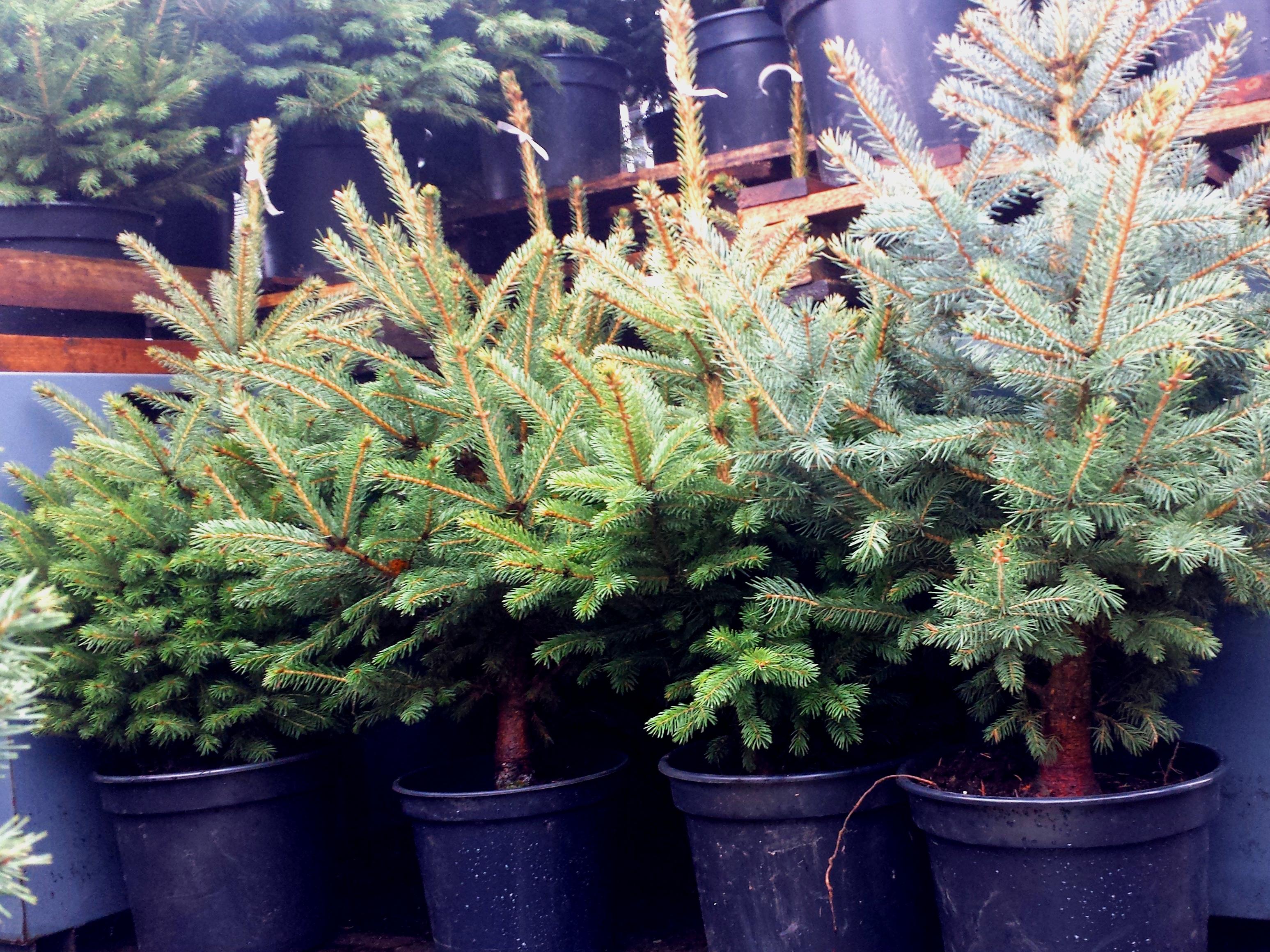 Kalėdinės eglutės prekyboje. Nuotr. L.Liubertaitė