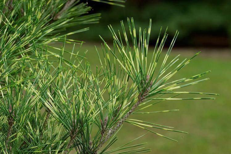 Pinus Densiflora 'Oculus draconis'. Nuotrauka iš www.richsfoxwillowpines.com