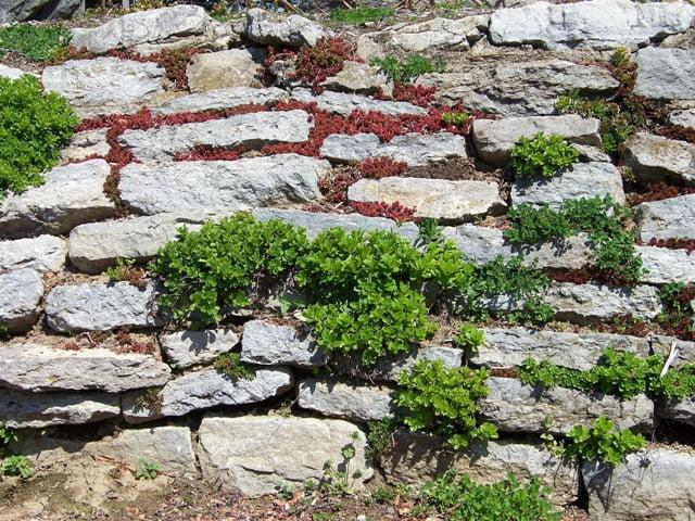 alpinariumo augalai