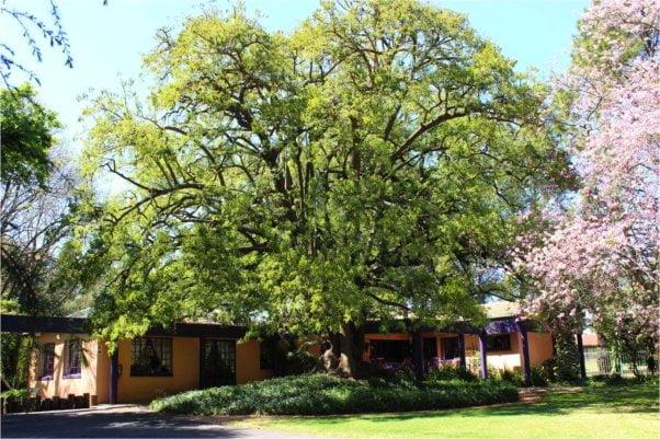 Per didelis medis, per arti šaknys, nepasiekiamos uogos, neproporcingas aukštis, per didelis pavėsis - planuodami stengiamės įvertinti situaciją ir pasirinkti tinkamą veislę ir vietą. Nuotrauka panaudota iš www.bigtreebb.com.