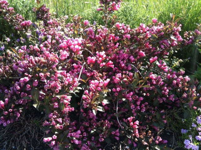 Gražiažiedė veigelė (Weigela florida) 'Purpurea'. Nuotrauka iš www.bonsaipflege.ch