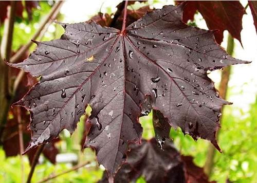 Paprastasis klevas (Acer platanoides) 'Royal Red'