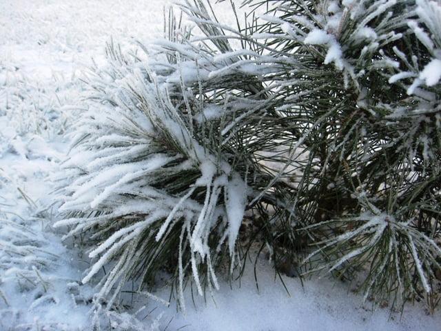 Juodoji pušis (Pinus nigra) žiemą.