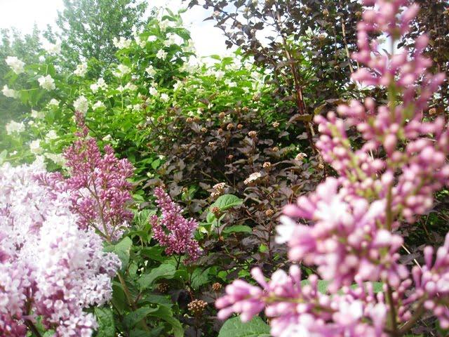 Žydintys krūmai ir krūmai spalvotais lapais: jazminas, putinalapis pūslenis 'Diabolo', alyva.