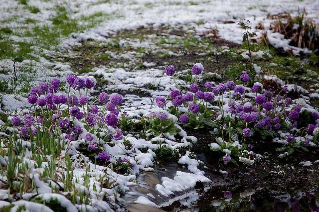 Bundanti Alpių gamta. Nuotrauka iš www.alpinegardensociety.net