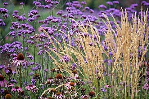 Patagoninė verbena, ežiuolė, ašuotė. Nuotrauka iš www.gardenworldimages.com