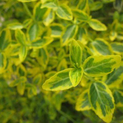 Augalai geltonais lapais – saulės blyksnis sode