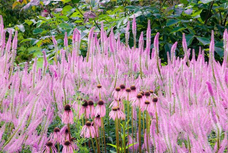 Ypač ryškus rožinis gėlynas. Virgininis veronikūnas 'Fascination' ir ežiuolė. Nuotrauka iš garden-photos-com.photoshelter.com