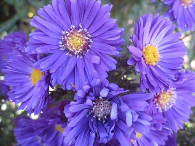 Rašalo mėlynumo - rudeniniai astrai VU botanikos sode Kairėnuose.
