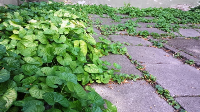 Vietoj vejos pavėsyje - šaligatvio plytelės su besidriekiančiais daugiamečiais augalais. Vilnius, senamiesčio kiemelis.