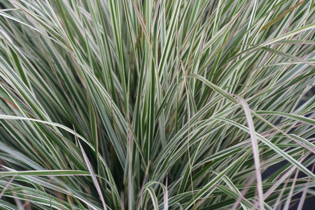 Smailiažiedis lendrūnas (Calamagrostis a. 'Overdam')