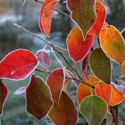 Pirmosios rudens šalnos: kaip paruošti daržą ir gėlynus