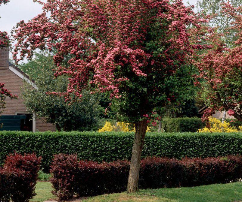 Solidus derinys. Glotnioji gudobelė, žema gyvatvorė – tunbergo raugerškis 'Purpurea'. Nuotrauka iš www.99roots.com
