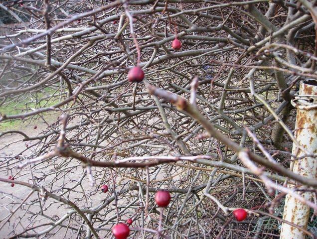 Gudobelių gyvatvorė žiemą. Nuotrauka L.Liubertaitės
