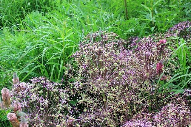 Augalai vėjuotomos vietoms Geltonas karutis