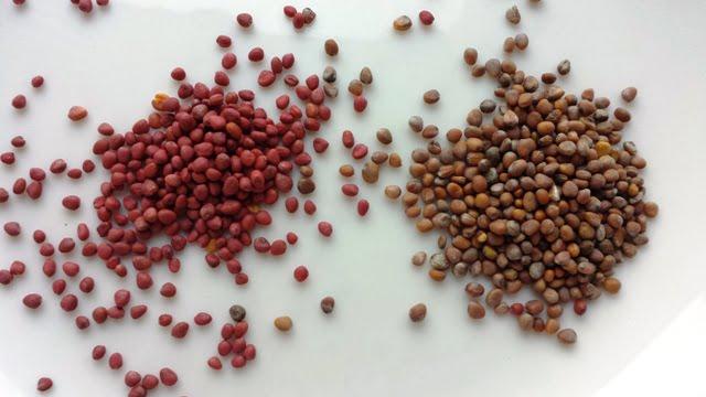Sėklų kainos Geltonas karutis