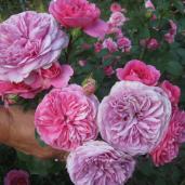 Rožės nuo praktikos iki romantikos