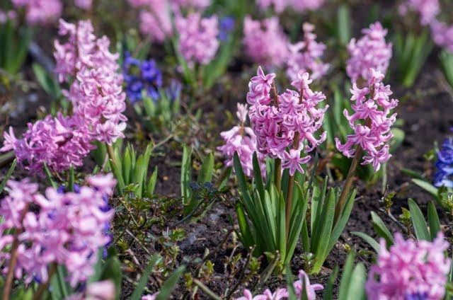 Hiacintai – klasikinės pavasario gėlės.