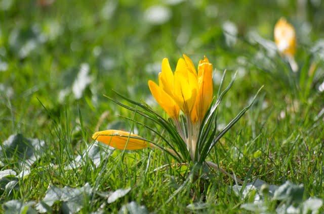 Krokas – tipiškas žavingas pavasario augalas.