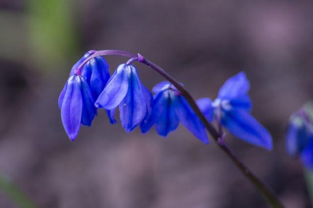 Pavasarinės gėlės scylės primena mums pavasario trapumą.