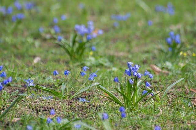 Scylės (Scilla) pievelėje – nuostabus pavasarinis kilimėlis.
