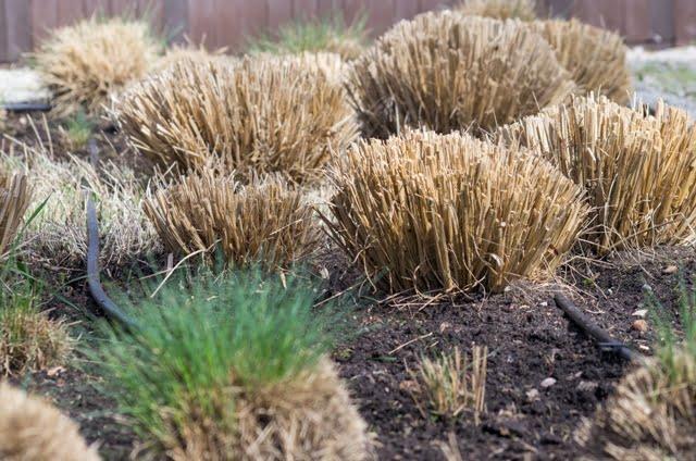 Varpiniai augalai visą savo grožį atskleidžia tik antroje metų pusėje, o kol kas ramiai tam ruošiasi.