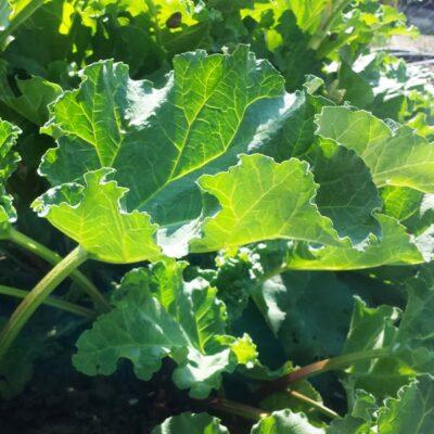 Daugiametės daržovės: vieną kartą pasodinę, derlių imsite daug metų