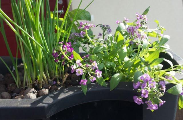 Prieskoniniai augalai  - kompozicija keliauja į balkoną.