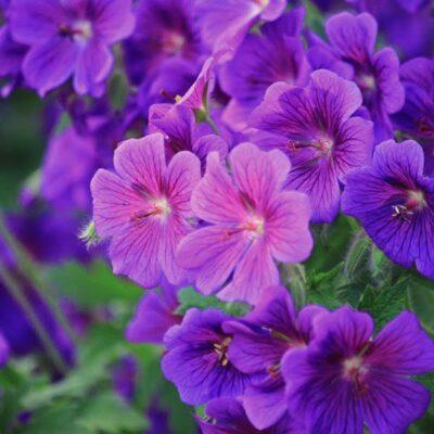 5 žydinčios pavėsio gėlės natūralistiniam gėlynui