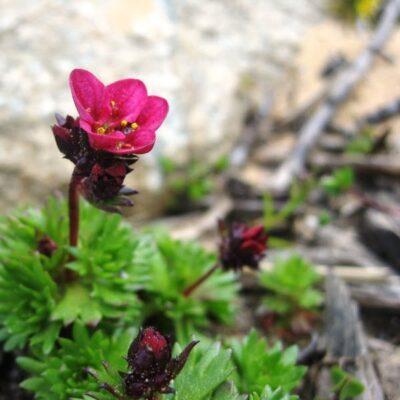 Žydinčios daugiametės gėlės kapams, kurios ištvers ir kaitrą, ir nelaistymą