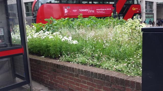 Jei pasirinkta viena spalva, gėlių deriniai gali būti sudaromi iš visai skirtingų augalų. Nuotraukoje augalų salelė sankryžoje, Londonas. Nuotr.L.Liubertaitė