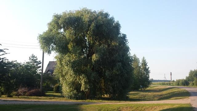 Didelis medis iš esmės keičia kraštovaizdį. Kupiškis, nuotr. L.Liubertaitė