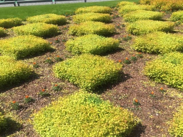 Projektas Venstpilyje - panaudoti įprasti augalai lanksva ir serenčiai Nuotr. Studija ALPS