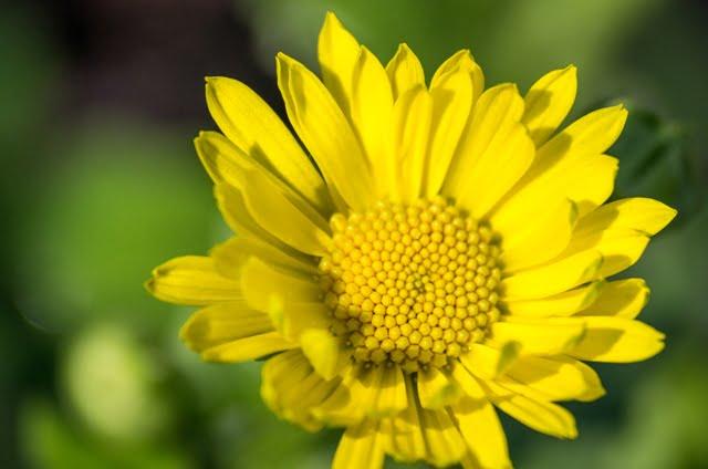 Vienas iš būdų - auginti efemerinius augalus, kurie pasirodo trumpai, tačiau tam laikotarpiui uždengia žemę. Rytinė laumenė (lot. Doronicum orientale), nuotr. L.Bielinis